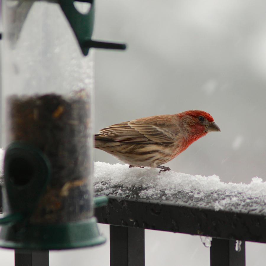 snowhousefinch