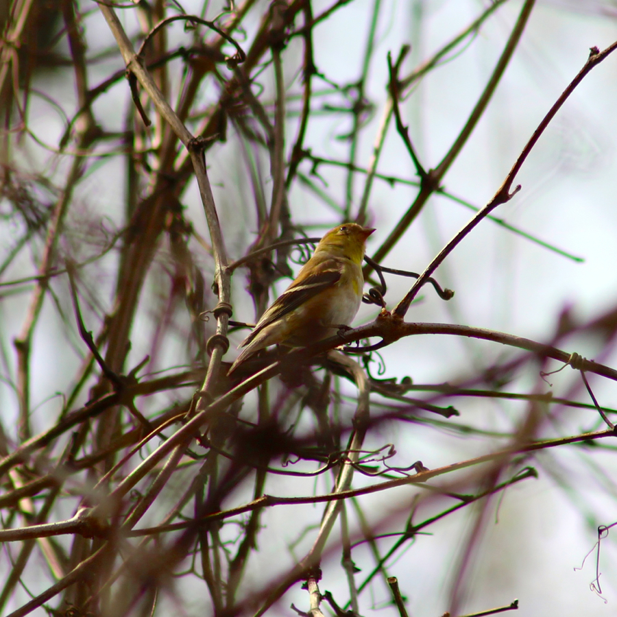 AmericanGoldfinch