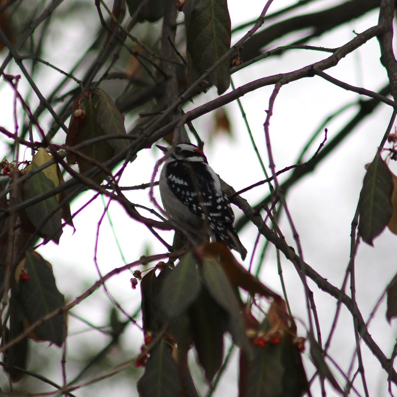 DownyWoodpecker