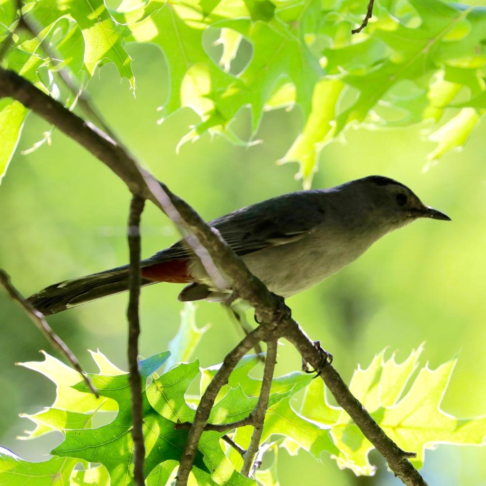 GrayCatbird